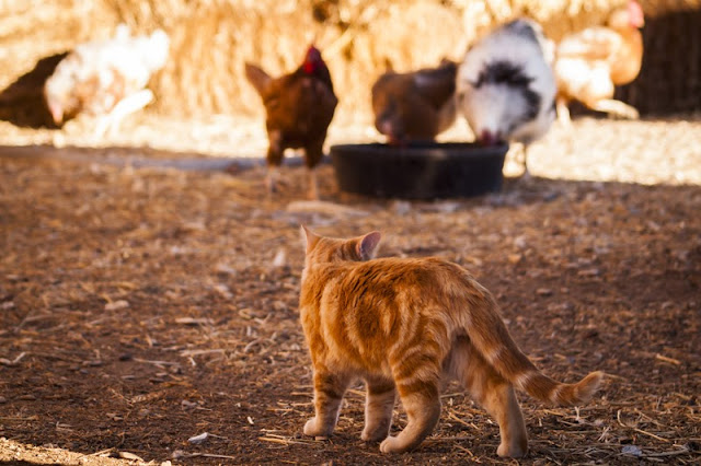 Free range chickens foraging under the watchful eye of a ginger cat