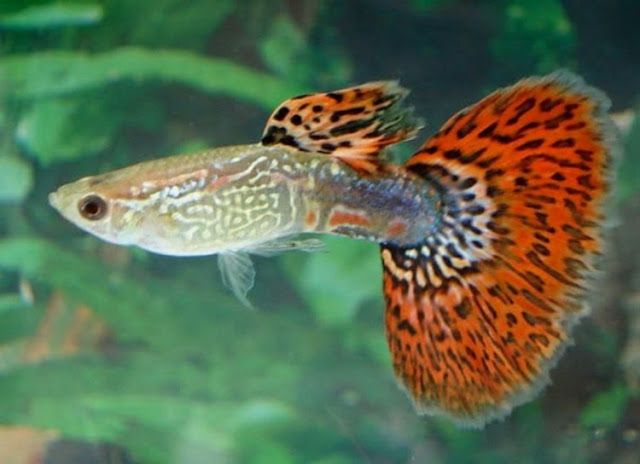 Dunia Ikan Hias - GUPPY METAL RED KING KOBRA HALFMOON