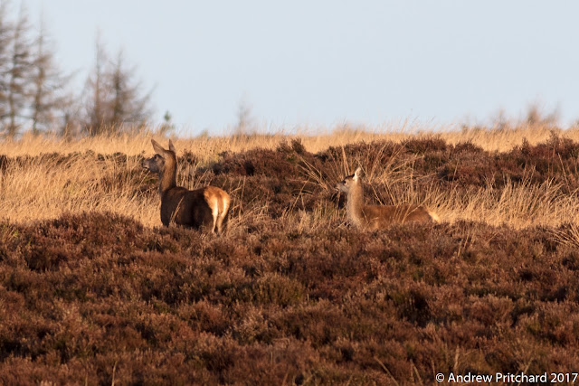 A hind and calf, quite likely mother and offspring, look towards the footpath with the sun behind them.