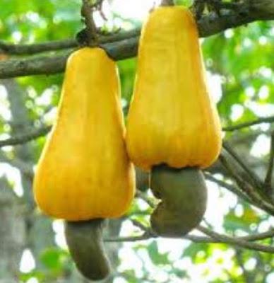Gambar Buah Jambu Monyet di Pohon Foto Buah-Buahan Segar di Hutan