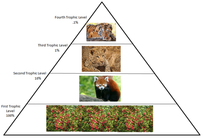 rainforest food chain diagram for kids 3d plant cell red panda