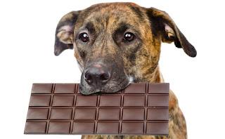 Avvelenamento da cioccolata nel cane