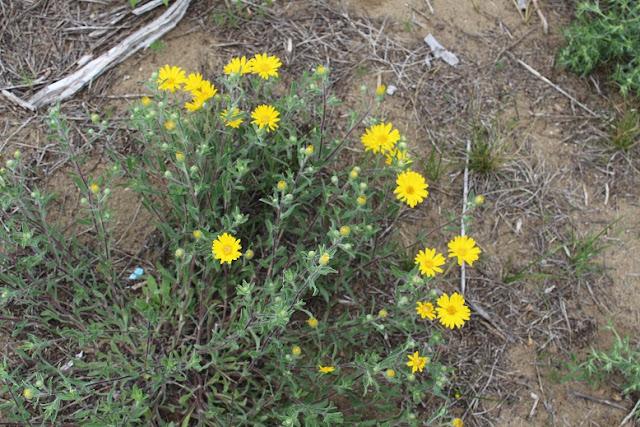 Manitoba wild flower