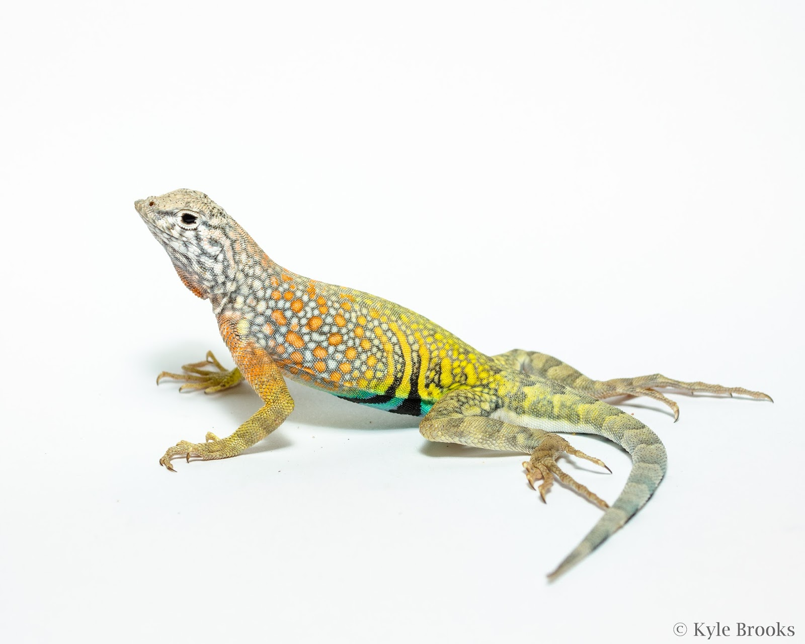 Greater Earless Lizard Cophosaurus texanus