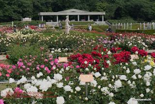 テラスを望む薔薇園の光景写真