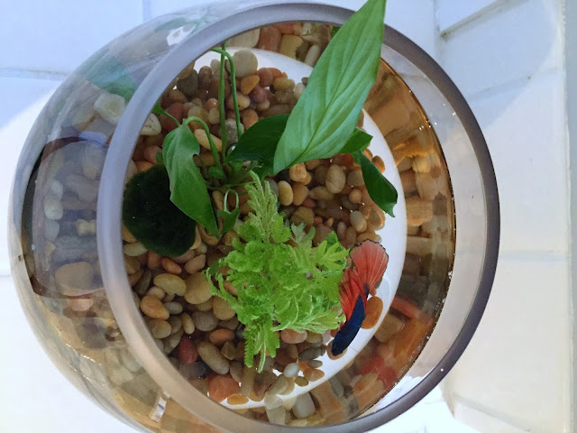 how to make a betta fish bowl with live plants
