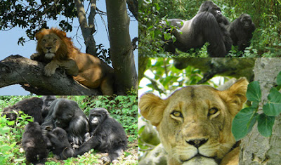 All inclusive Uganda 15 days safari tour with gorilla tracking, chimps trek, wildlife safari, Game drives and veiwing in Murchison Falls National Park, Queen Elizabeth National Park, Lake mburo, chimpanzees tracking in Kibale, Gorilla Tracking in Bwindi, in luxury accommodation and budget safari options