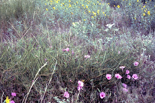 bush morning glory, Ipomoea leptophylla