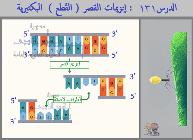 إنزيمات القصر ( القَطع )  البكتيرية  - أحياء الثالث الثانوى