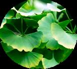 composicao-gel-hot-grow-ginkgo-biloba