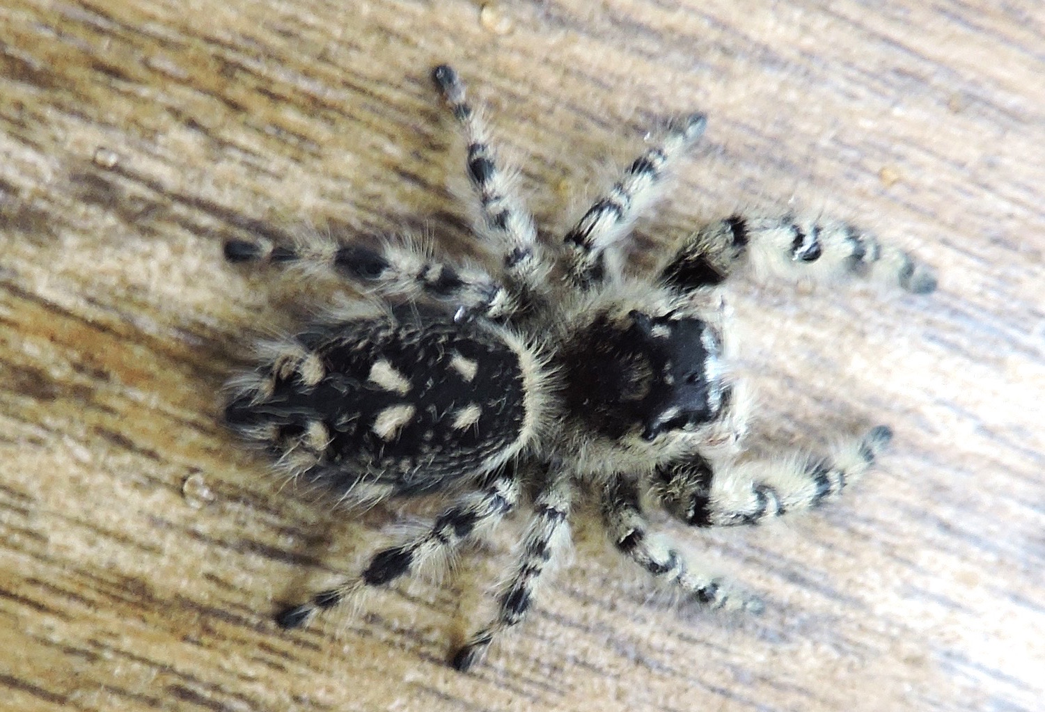 springfield plateau jumping spider