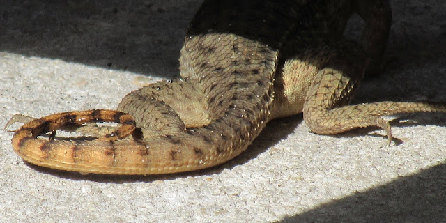 The namesake tail of the Northern curlytail lizard