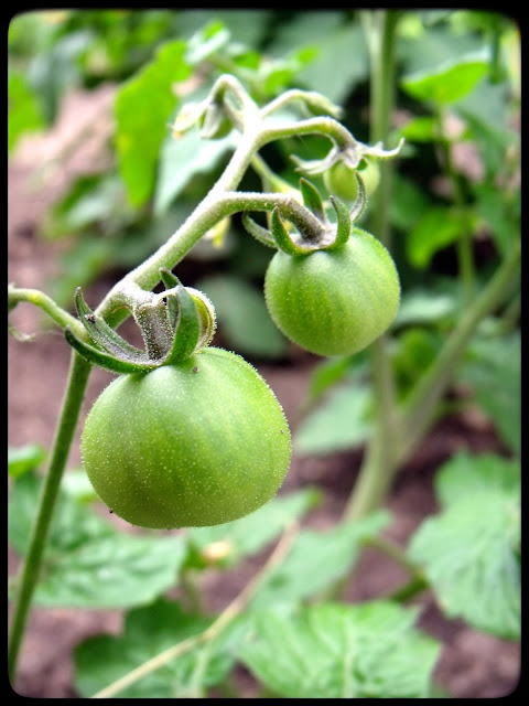 marguerite verte blog tomate tomates cerise jardin fleurs fleur droits réservés