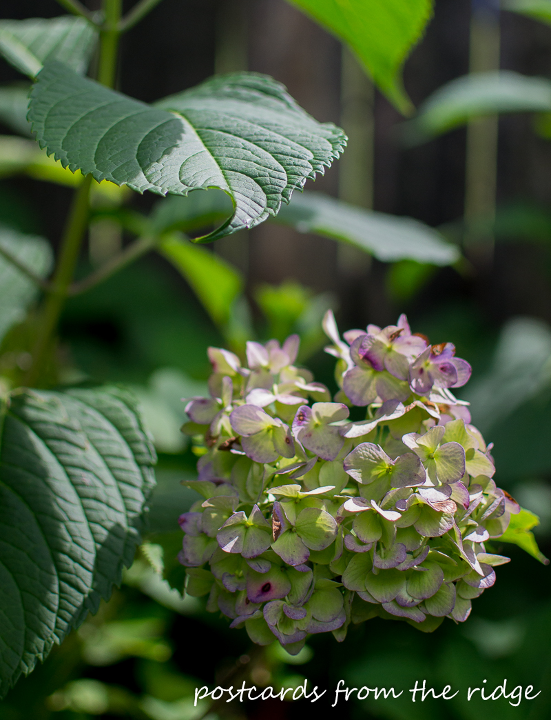 I never realized how simple it is to dry hydrangea blooms. Saving this for future reference!