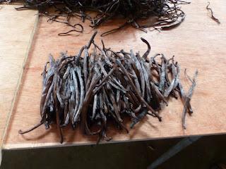 Vanilla planifolia - Vanillier - Vanille