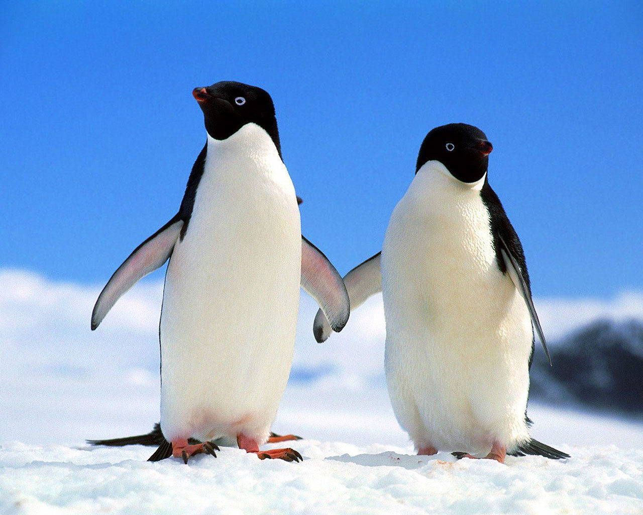 penguins penguin species adelie taxonomy pinguin animals holding hands penquins pinguins antarctica they antarctic wallpapers lives research pingu photographs lived