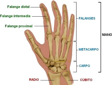 Dibujo de la mano indicando las partes de los huesos que lo componen