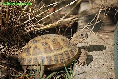 Hembra de tortuga rusa tomando el sol