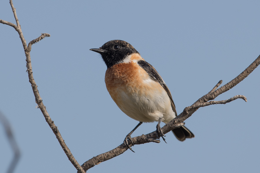 Western Siberian Stonechat