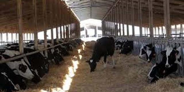 370 رأساً من الأبقار المحسنة لمزارعي السويداء