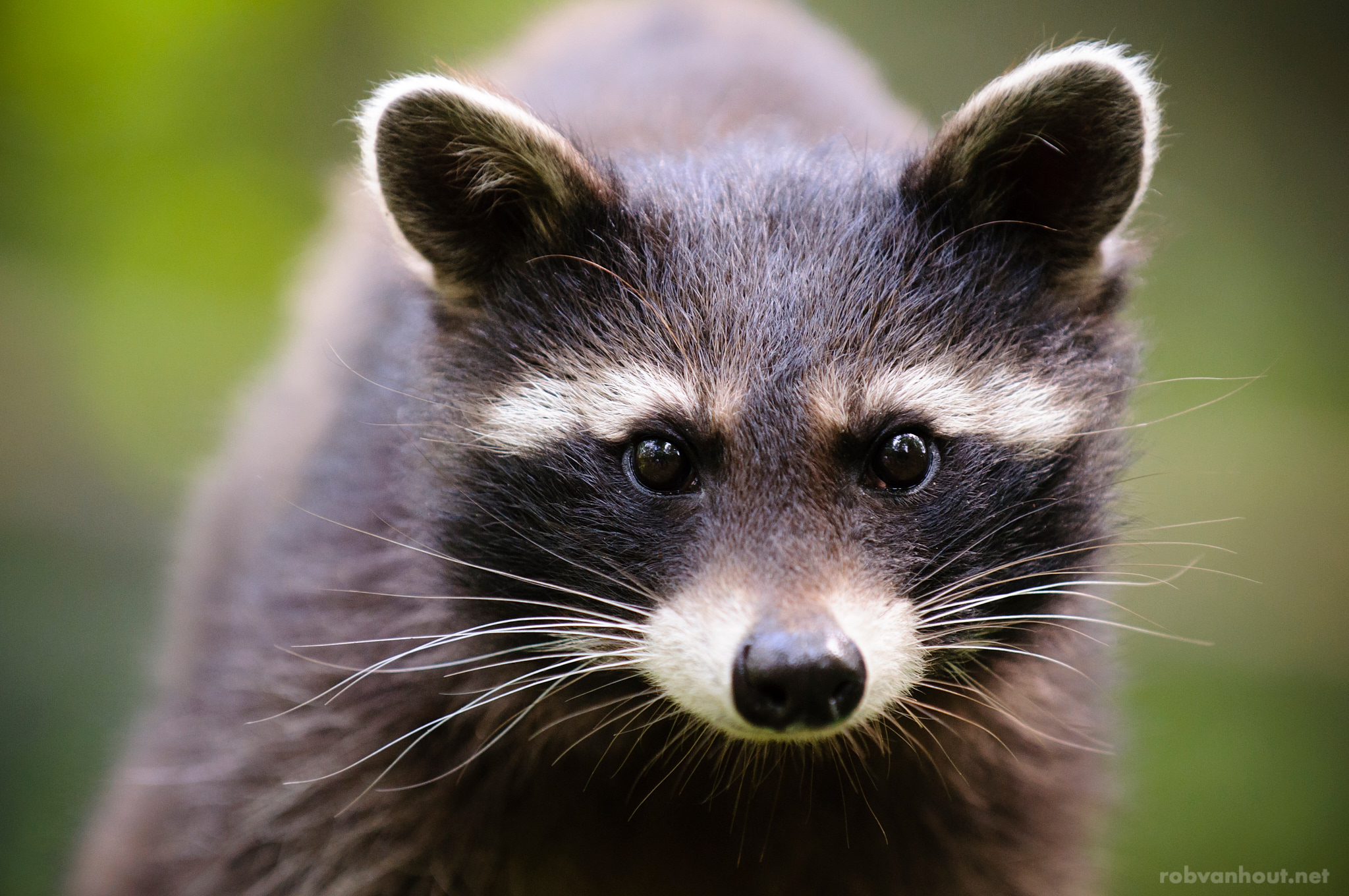 Raccoon Kit — Anholter Schweiz