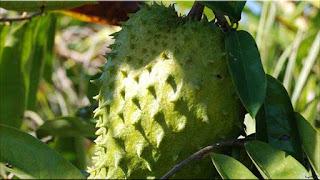 gambar buah sirsak