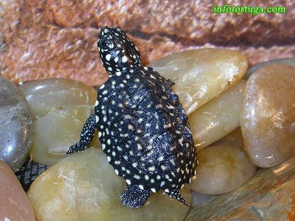 Cría de Geoclemys hamiltonii