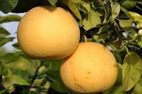 Ağaç Kavunu Acem Elması Yahudi Limonu En Çok Neye Nelere İyi Gelir?