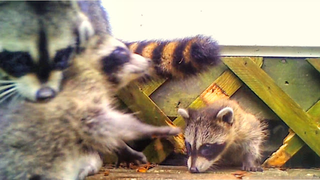 Raccoon Mom Moves Babies to New Den