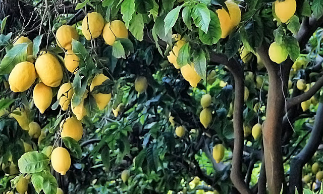 Zitronen am Baum in voller Pracht