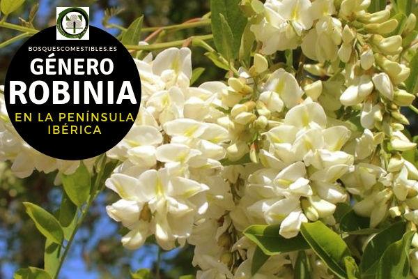 Lista de especies del Género Robinia, Familia Fabaceae en la Península Ibérica.