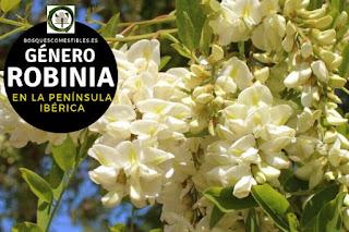 El género Robinia son arboles caducifolios, robustos que puede alcanzar hasta 25 m de altura