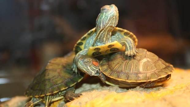Kura-kura air pembawa hoki atau keberuntungan
