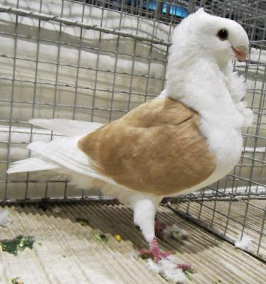old dutch owl pigeons - pigeons