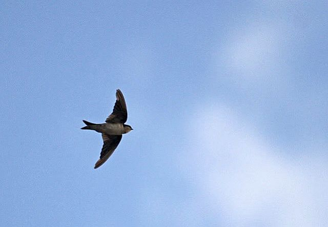 Picture of a alpine swift in flight.