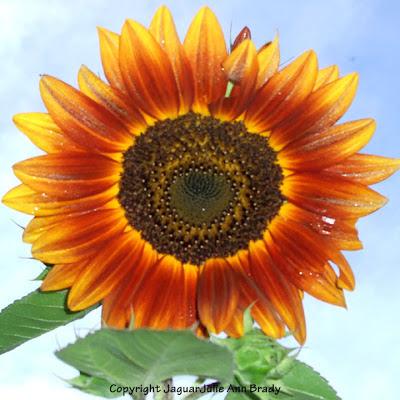 A Buggy Autumn Beauty Sunflower Blossom
