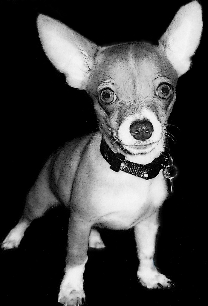 Very Cute Puppy Wallpapers Chihuahua Dogs Pictures Cute Puppy Pictures Cute Dogs