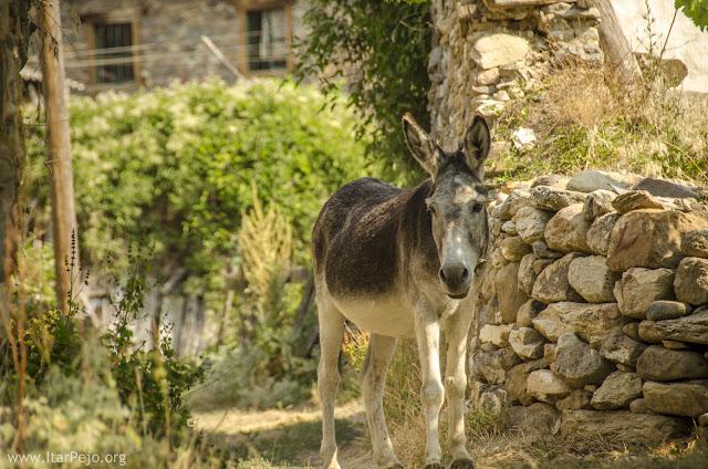 Donkey in Gradeshnica village, Mariovo