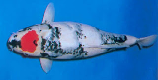 Jenis Ikan Hias Koi Boke Showa