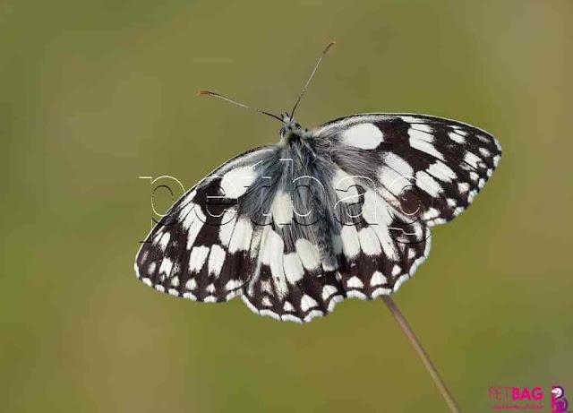 الفراشات الرخامية
