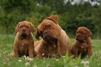 La reproduction chez le chien