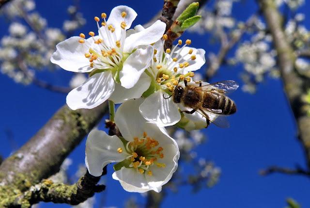 Pilná včelička na květu