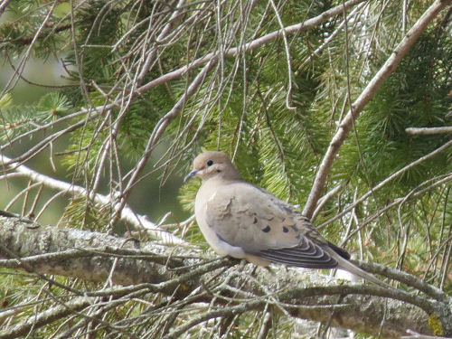 mourning dove in an evergreen tree