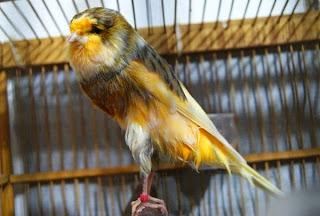 burung kenari yorkshire