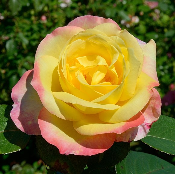 Pullman Orient Express сорт розы Мейян фото