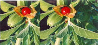 Ashwagandha Reduces Stress