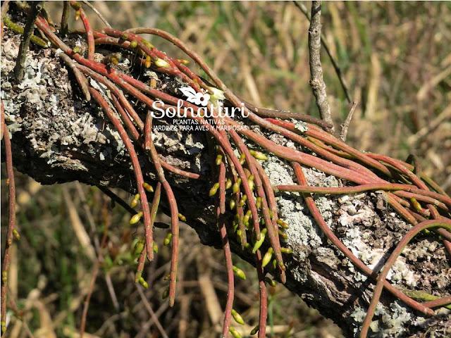 Cactus lombriz Rhipsalis lumbricoides