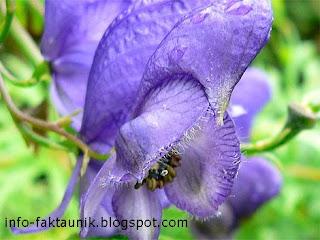 Aconitum napellus di info-faktaunik.blogspot.com