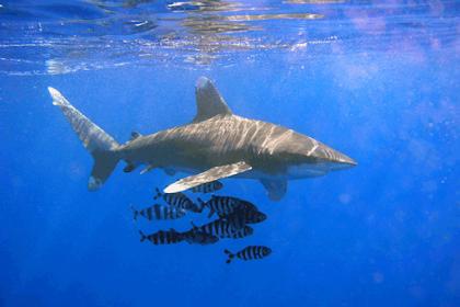 Ikan Hiu, Fakta menarik dan Informasi Lainnya