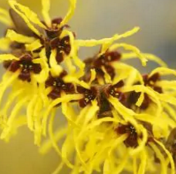 Witch Hazel Home Remedies for Itchy Scalp